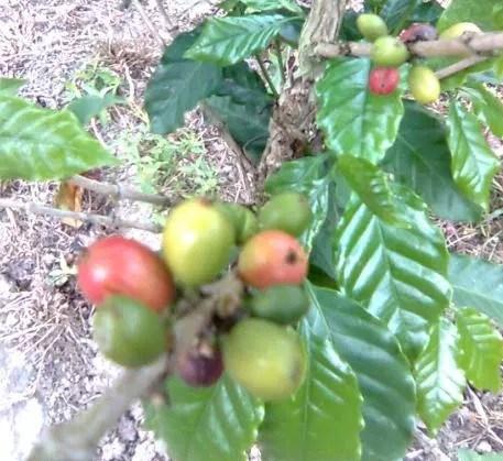 cafe con leche venezuela (1)